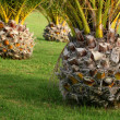 Detail of small Canary palms — Stock Photo