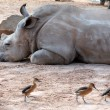 Stock Photo: Rhino in bioparc, Valencia, Spain