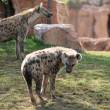 Stock Photo: Two hyenas in bioparc in Valencia, Spain