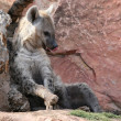 Stock Photo: Hyenin bioparc in Valencia, Spain
