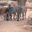 Zebras in bioparc in Valencia, Spain - Stock Photo