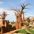 Stock Photo: Baobab trees in bioparc in Valencia