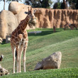 Giraffe in bioparc in Valencia, Spain — Stock Photo