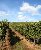 Vineyard in summertime during daytime — Stock Photo