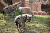 Duas hienas no bioparc em valência, espanha — Foto Stock