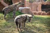 Two hyenas in bioparc in Valencia, Spain — Stock Photo