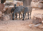 Zebras in bioparc in Valencia, Spain — Stock Photo