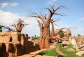Baobab trees in bioparc in Valencia — Stock Photo