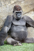 Male of gorilla in bioparc in Valencia — Stock Photo