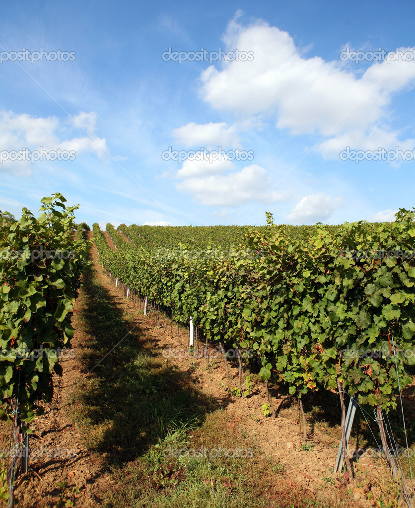Vineyard in summertime during daytime in the countryside — Stock Photo #1360308