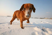 Red dog on snow in sunny day — Stock Photo
