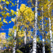 Autumn birches 3 — Stock Photo