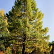 Autumn larch - Stock Photo