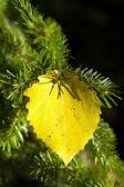 Jesienne brzozy arkusz 2 — Zdjęcie stockowe