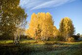 Autumn birches 2 — Stock Photo