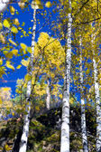 Autumn birches 3 — Stockfoto