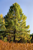 Autumn larch — Stock Photo