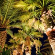 Palm tree 3 — Stock Photo #1360834