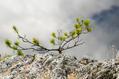 Yang fog tree — Stock Photo