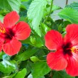 Flowers hibiscus - Stock Photo