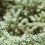 Branch of green christmas tree — Stock Photo
