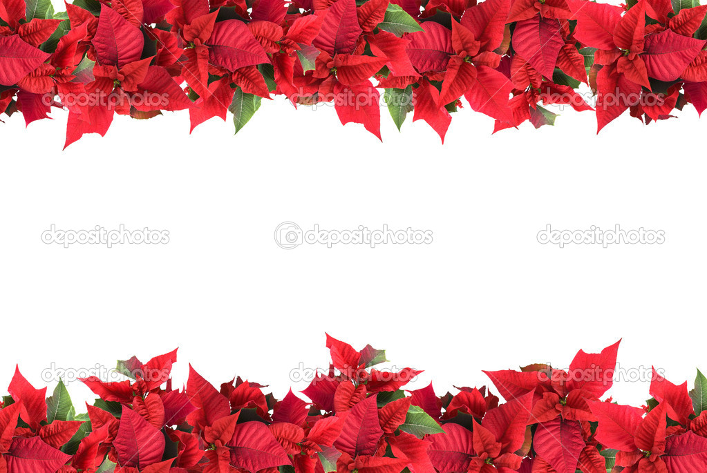 Christmas frame from poinsettias isolated on white  Stock Photo #1359551