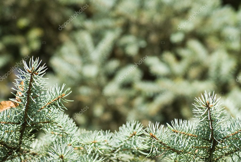 Branch of green christmas tree — Stock Photo #1359723