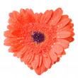 Heart from red daisy-gerbera — Stock Photo