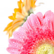 Pink daisy-gerbera - Stock Photo