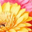 Royalty-Free Stock Photo: Close up daisy-gerbera