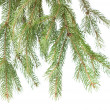 Branch of christmas fir tree — Stockfoto #1361035