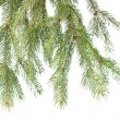 Branch of christmas fir tree - Stock Photo