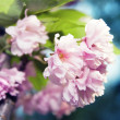 Stock Photo: Spring blossom of purple sakura