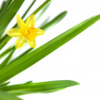 Narcissus isolated on white — Stock Photo