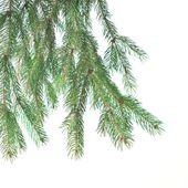 Branch of christmas fir tree — Стоковое фото