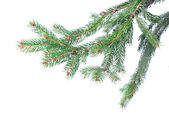Branch of christmas fir tree — Photo