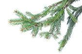 Tak van de zilverspar kerstboom — Stockfoto