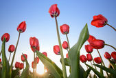 Red tulips against blue sky — Stock Photo