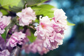 Spring blossom of purple sakura — Стоковое фото