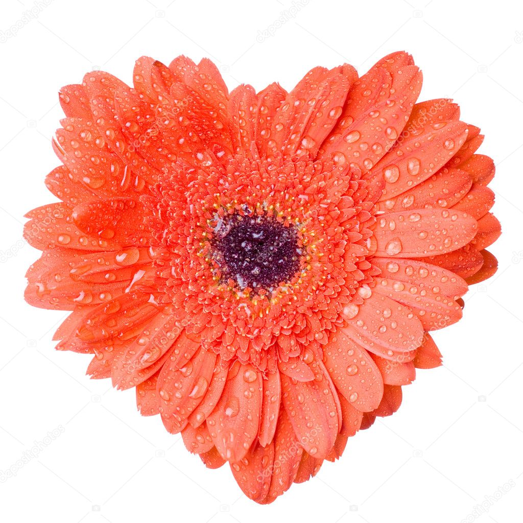 Heart from red daisy-gerbera with water drops isolated on white — Stock Photo #1360580