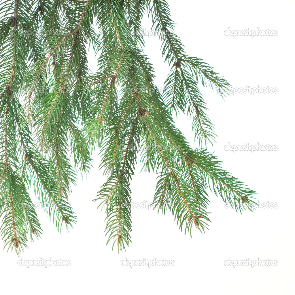 Branch of christmas fir tree isolated on white — Stock Photo #1360988