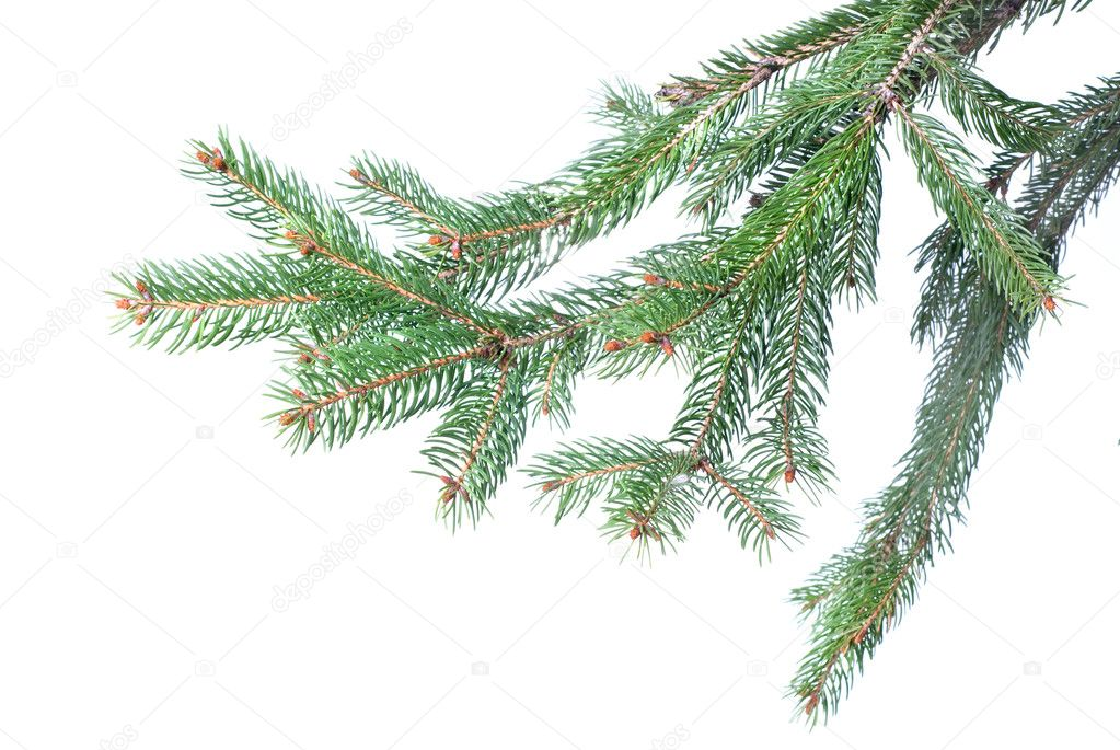 Branch of christmas fir tree isolated on white — Stock fotografie #1361331