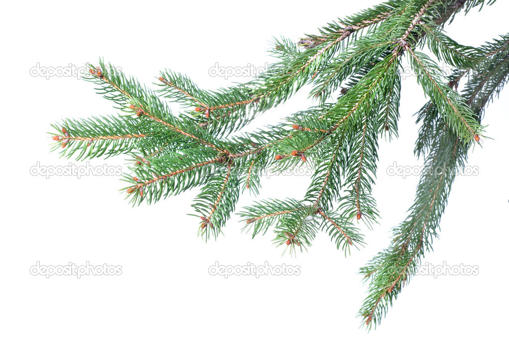 Branch of christmas fir tree isolated on white — Photo #1361331