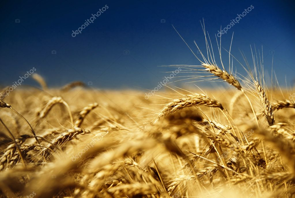 Gold wheat and blue sky  Stock Photo #1364260