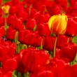 Single yellow tulip in field of red — Stock Photo #1370845