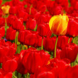 Single yellow tulip in field of red - Stock Photo
