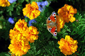Butterfly on yellow flowers — Stock Photo