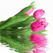 Close-up pink tulips - Stock Photo