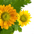 Yellow chrysanthemum bouquet i — Stock Photo