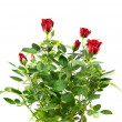Red rose bouquet — Stock Photo #1383957